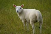 Qurbani Lamb